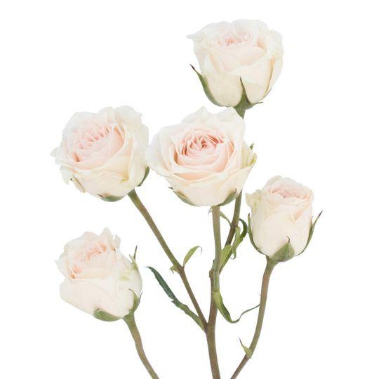 Spray white rose