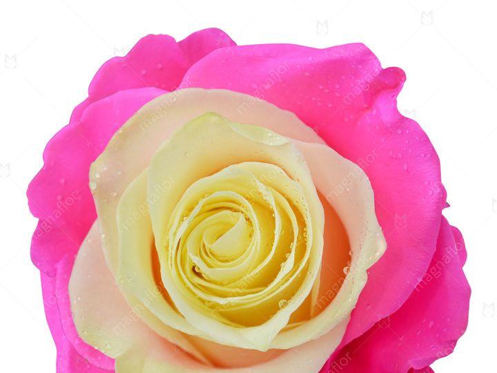 Tmx Callisto Rose 1 51 932572 Fort Lauderdale, FL wedding florist