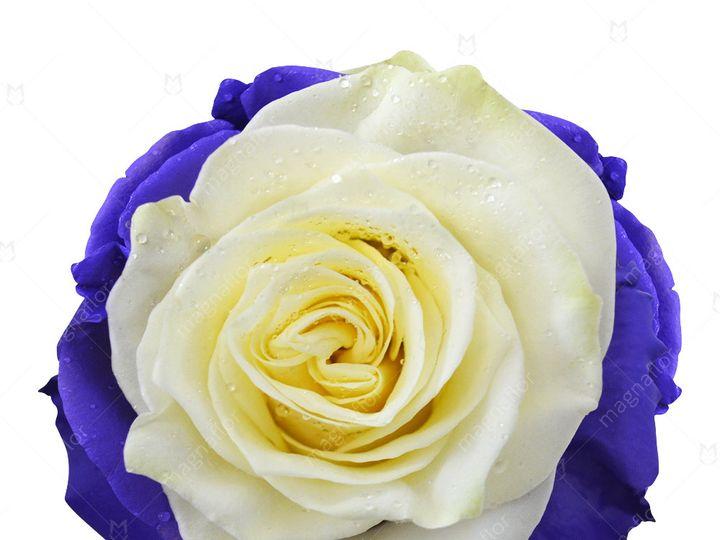 Tmx Ceres Rose 1 51 932572 Fort Lauderdale, FL wedding florist