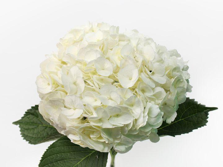 Tmx Clean Hydrangeas White Giant 51 932572 Fort Lauderdale, FL wedding florist