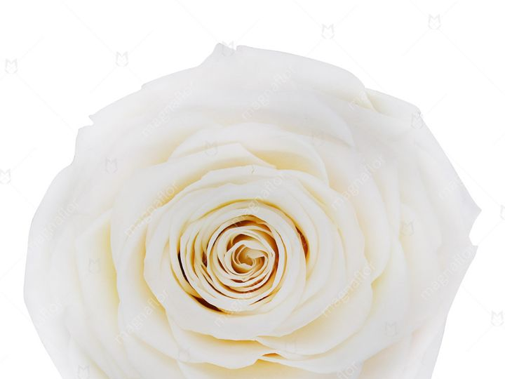 Tmx Cream Perfection 51 932572 Fort Lauderdale, FL wedding florist