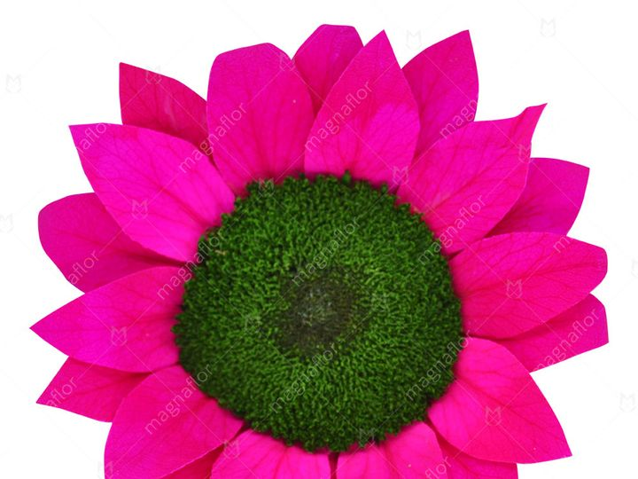 Tmx Hot Pink Sunflower 51 932572 Fort Lauderdale, FL wedding florist