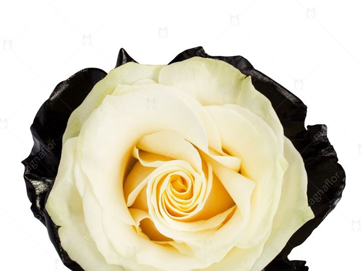 Tmx Jupiter Rose 1 51 932572 Fort Lauderdale, FL wedding florist