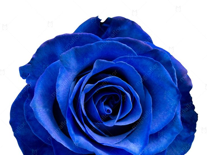 Tmx Neptune Rose 1 51 932572 Fort Lauderdale, FL wedding florist