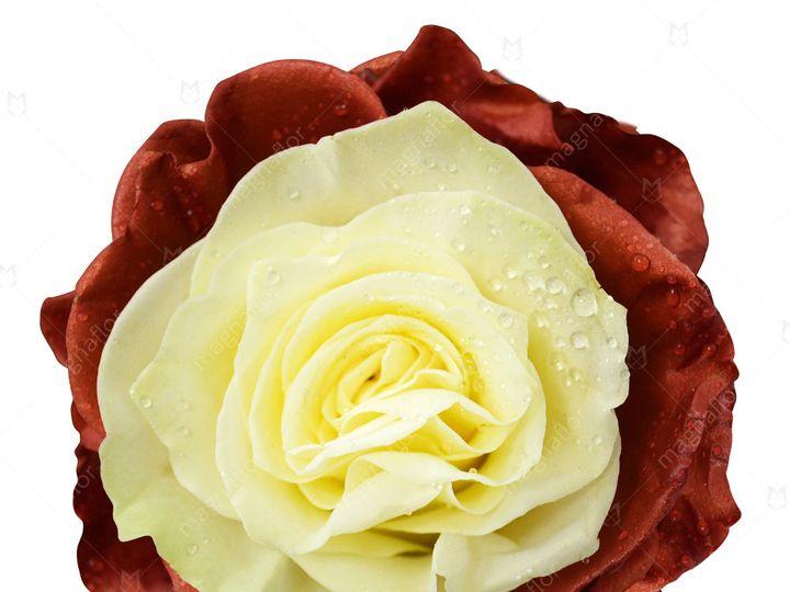Tmx Oberon Rose 1 51 932572 Fort Lauderdale, FL wedding florist