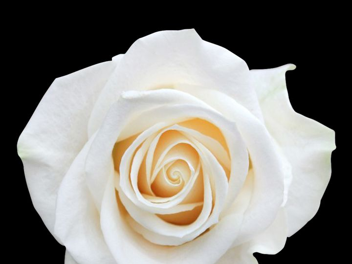Tmx Vendela Rose 1 51 932572 Fort Lauderdale, FL wedding florist