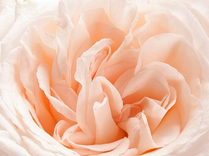 Tmx White O Hara Garden Rose 3 51 932572 Fort Lauderdale, FL wedding florist