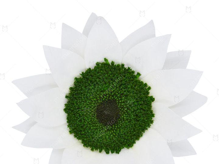 Tmx White Sunflower 51 932572 Fort Lauderdale, FL wedding florist