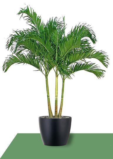 interior plants adonidia