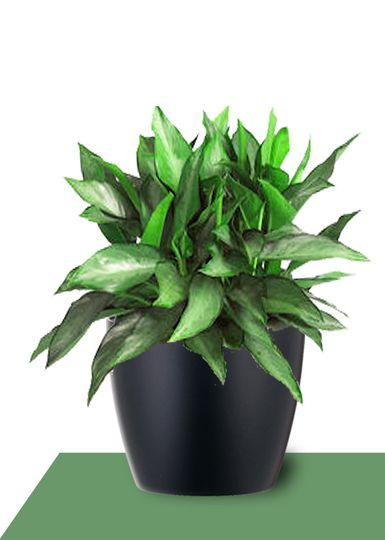 interior plants aglaonema diamond bay