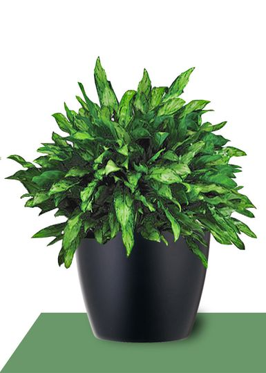 interior plants aglaonema mary ann