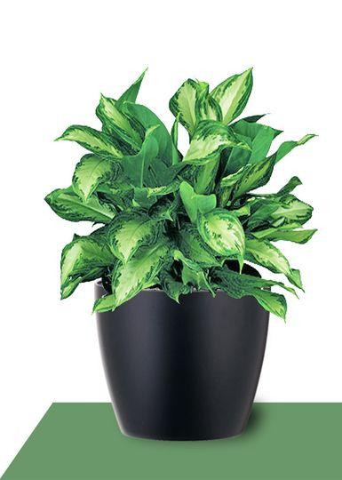 interior plants aglaonema silver bay