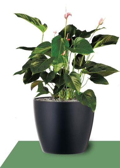 interior plants anthurium