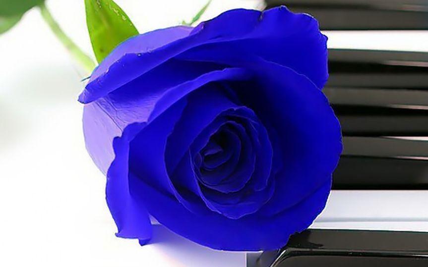 piano rose blu