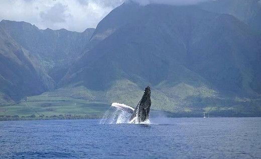 183e1aa745293a5d 1418155716911 whale watching maui hi 2