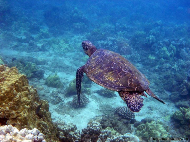 Snorkeling with Sea Turtles in Hawaii