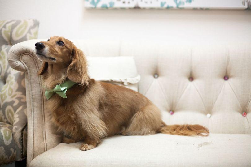 Puppy in a bowtie