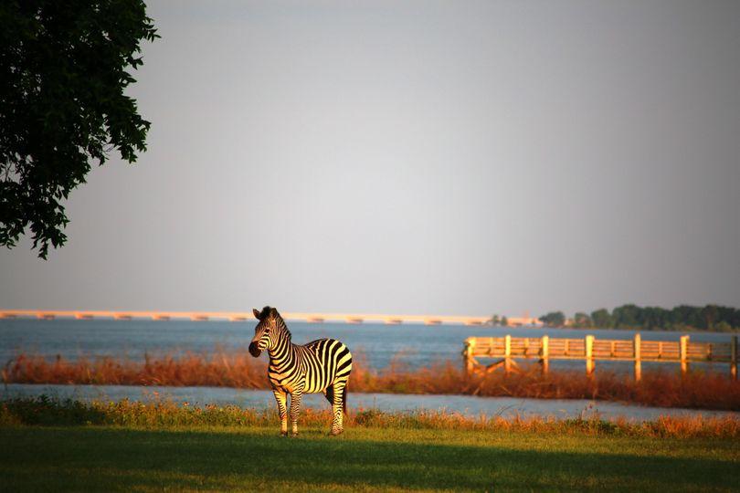 zebra and dock