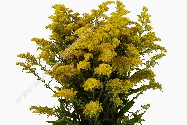 Bulk Solidago Aster flowers are a popular filler made up of clusters of colorful yellow flowers.