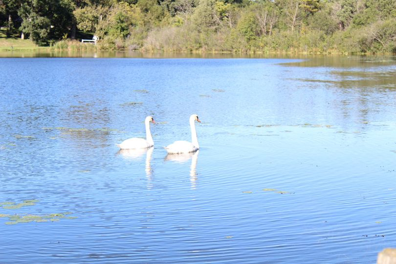 Swans on Lake Tombeau