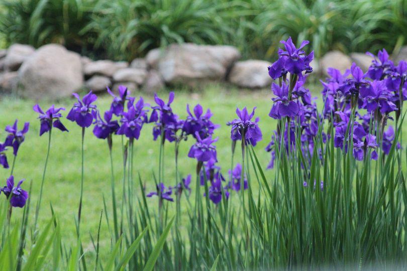 Iris in may