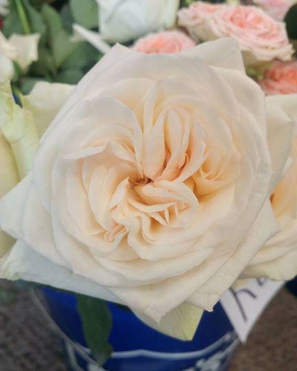Garden rose Austin