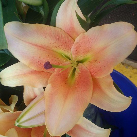Peach LA lily
