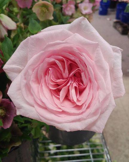 Pink O'hara garden rose