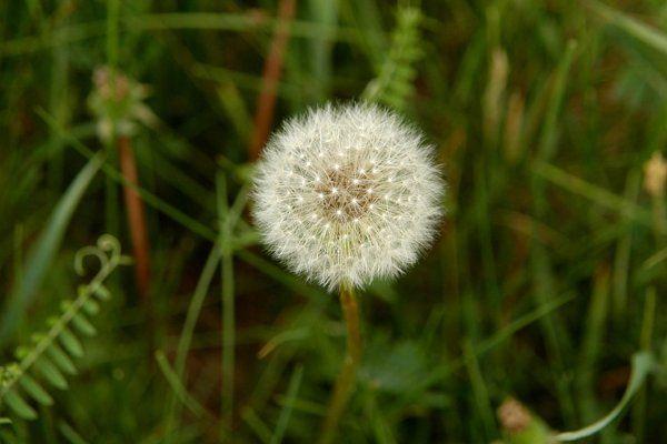2 Dandelion