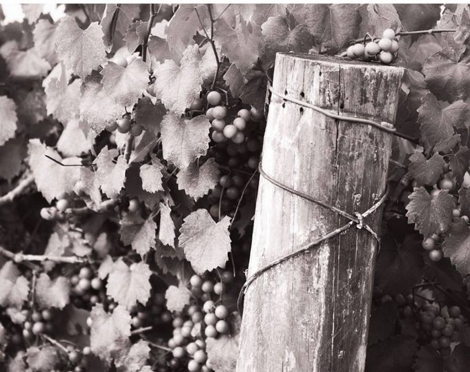 Vines black and white