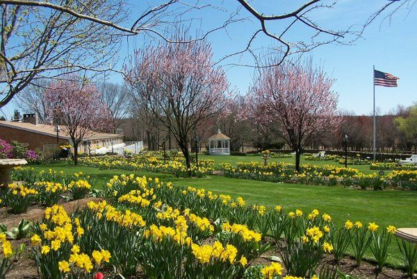 Thousands of Trumpeting Daffodills in April on the South Lawn