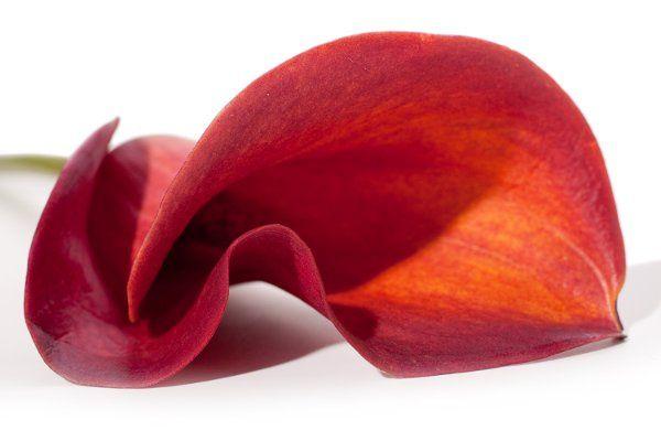 DIY Flowers, wholesale flowers, mini-calla lilies, calla lily