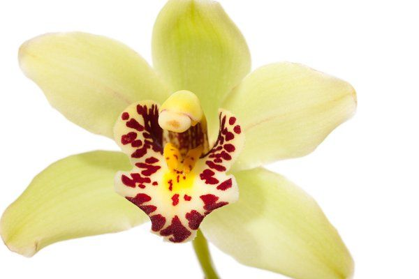 DIY Flowers, wholesale flowers, easy arrangements, cymbidium orchids, mini-cymbidium orchids,...