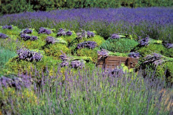 Imagine your wedding outdoors at a 100% organic lavender farm.