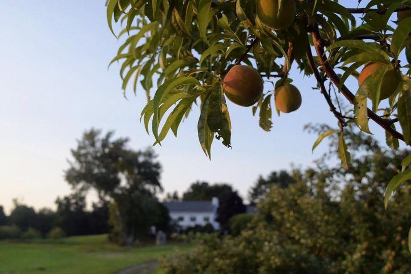 Fall peaches