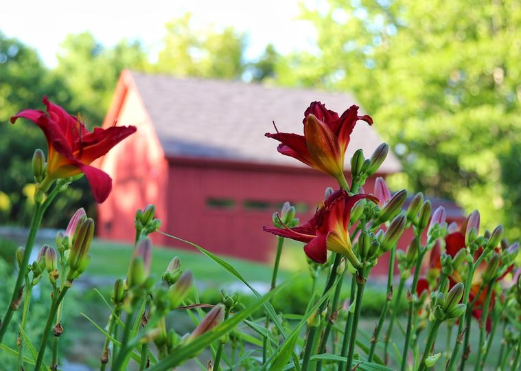 Daylilies in bloom.