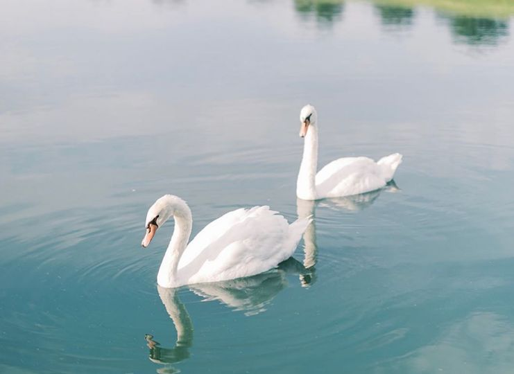 Fred and Ginger our Swans