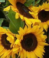 Sunflowers make beautiful wedding bouquets and wedding centerpieces. Sunflowers are an excellent...