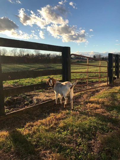 Goat pastures