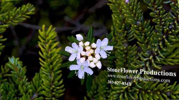 Stone Flower Productions