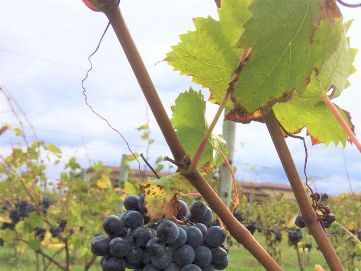 Tmx Sangiovese Grapes On Vine 51 53563 Geneva, New York wedding venue