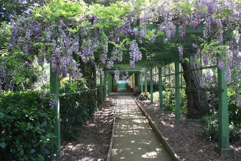 Wisteria Arbor Blooms in May