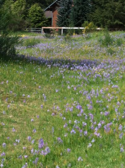 Camas flowers @ camas prairie