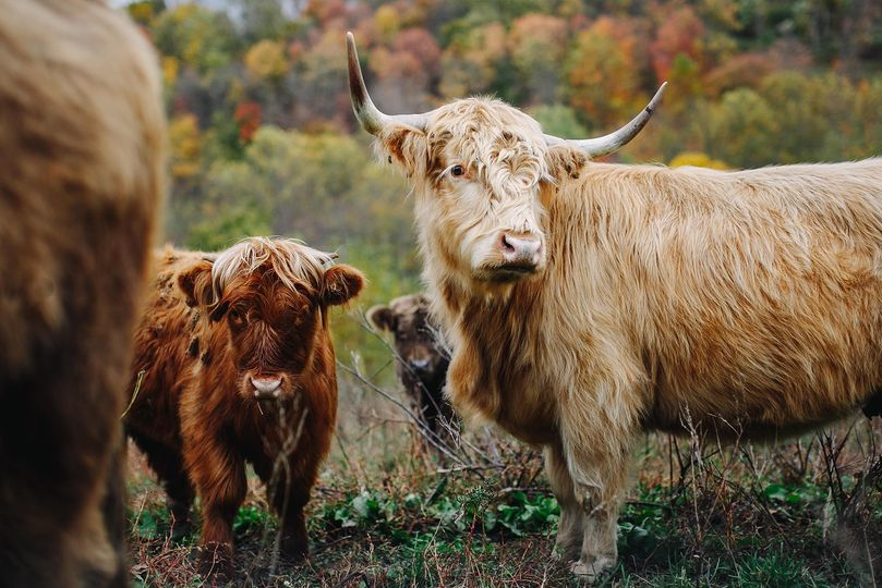The venue's highland cattle