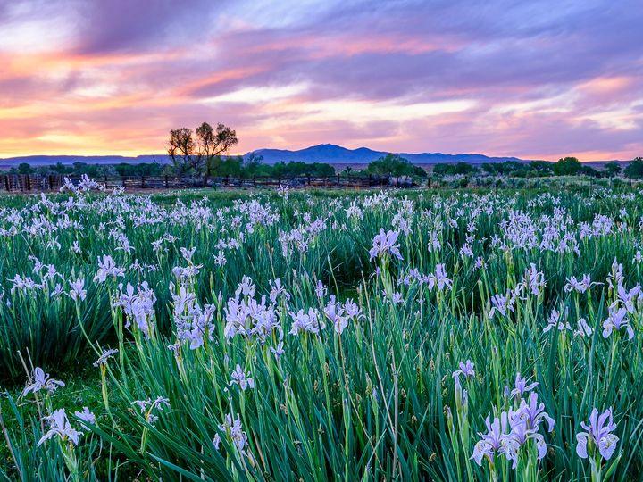 Tmx Wild Iris In The Owens Valley Instagram 51 1979193 159501415549094 Bishop, CA wedding photography
