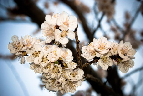 cherryblossomtwo 2