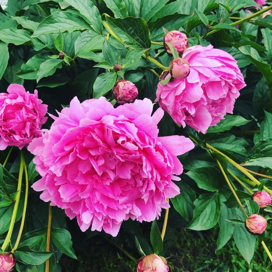 Pink peonies outdoors