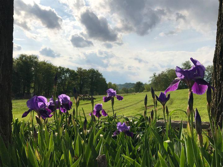 Springtime irises