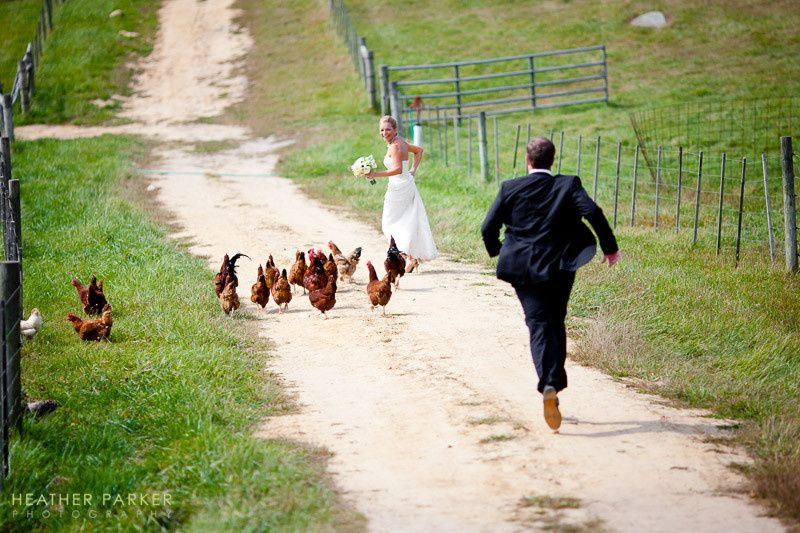 Wedding on Martha's Vineyard at the Allen Farm Sheep & Wool Company - a bride is chased unexpectedly...