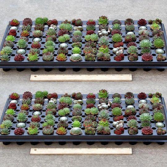 semp wholesale plug tray full winter colors 2x